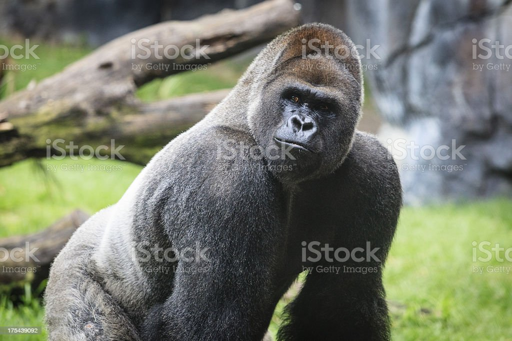 Western Lowland Gorilla Alpha Male Close Up stock photo