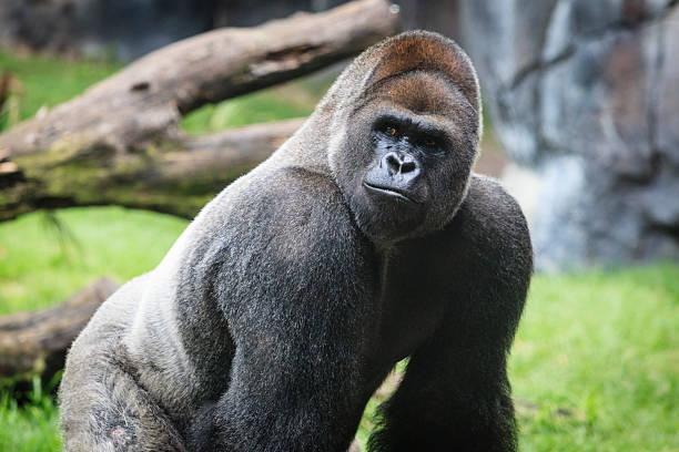 gorila occidental de llanura alfa macho primer plano - gorila fotografías e imágenes de stock