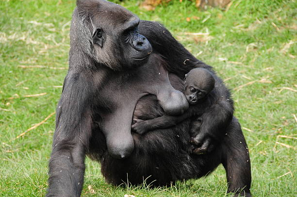 western lowland gorilla and baby. - monkey stock photos and pictures