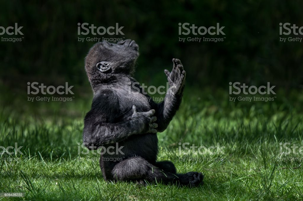 Western Lowland Gorilla Baby II stock photo
