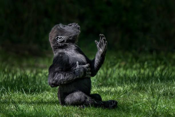bebé gorila de tierras bajas occidental ii - gorila fotografías e imágenes de stock