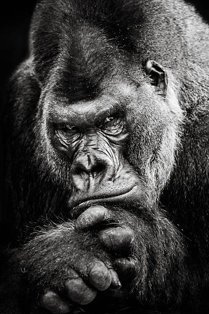 western lowland gorilla bw ii - gorilla stock photos and pictures