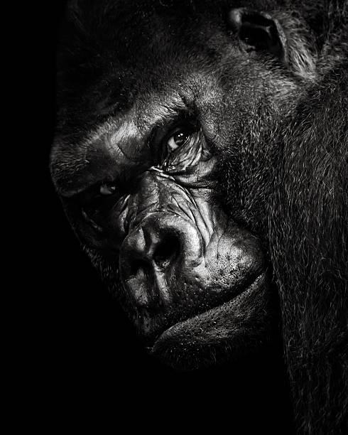 Western Lowland Gorilla BW stock photo