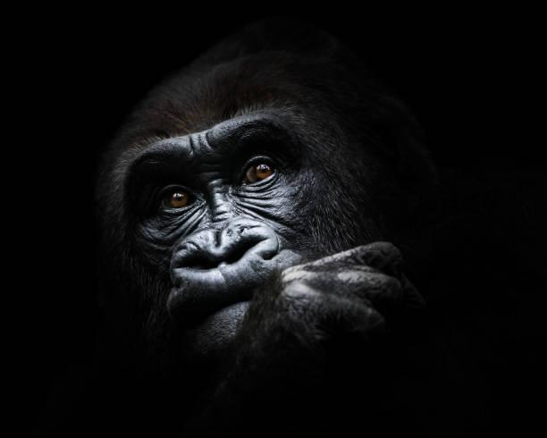 Western Lowland Gorilla III stock photo