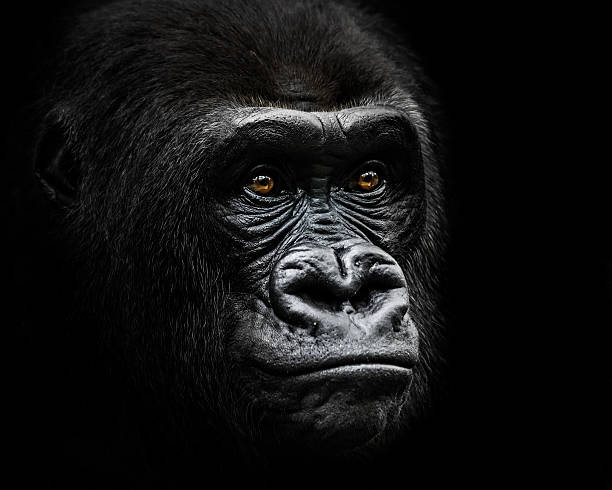 Western Lowland Gorilla IV stock photo