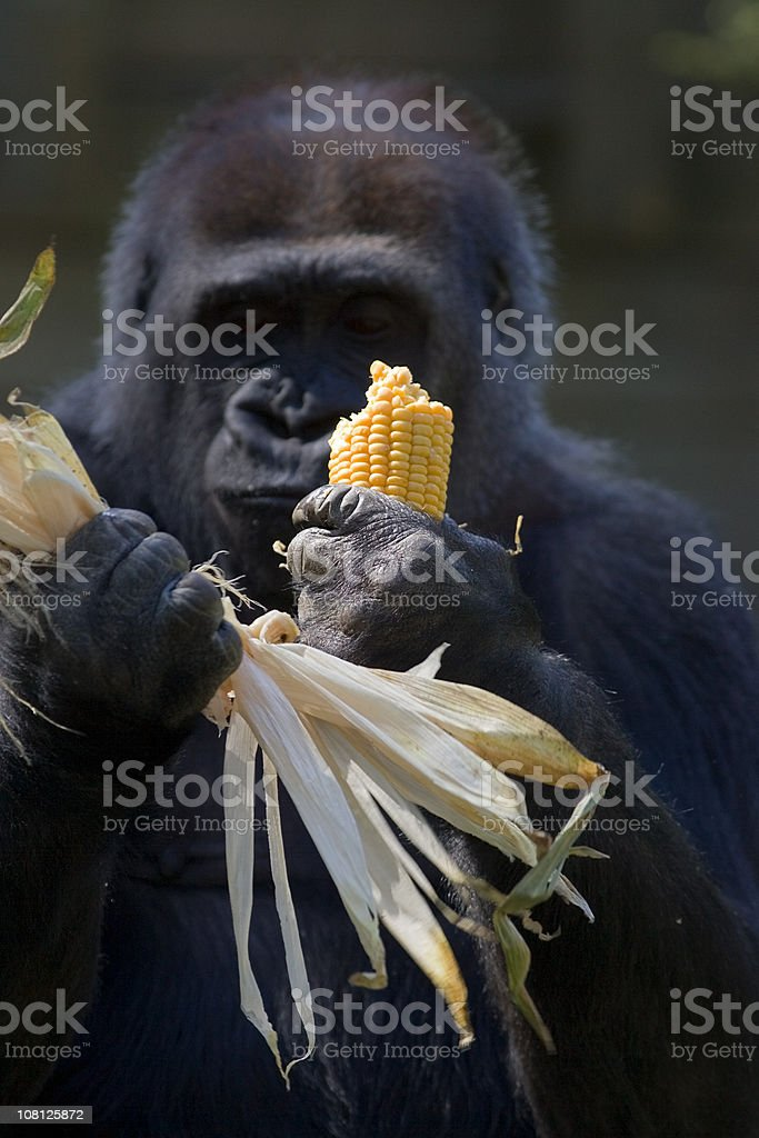 Western Lowland Gorilla royalty-free stock photo