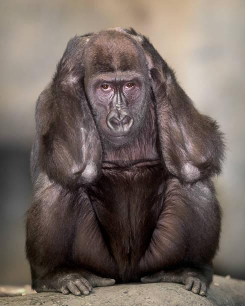 Western lowland gorilla picture id1135533031?b=1&k=6&m=1135533031&s=612x612&w=0&h=fvdx53uwgv20jx5okz2pvfyaqv ut3abrfrt8bvek y=