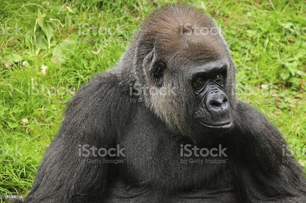 Western Lowland Gorilla. royalty-free stock photo