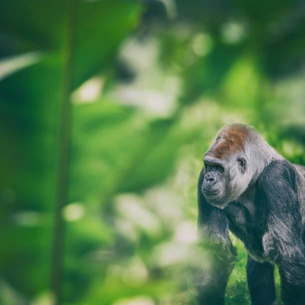 gorila occidental de pie y mirando en la selva - gorila fotografías e imágenes de stock