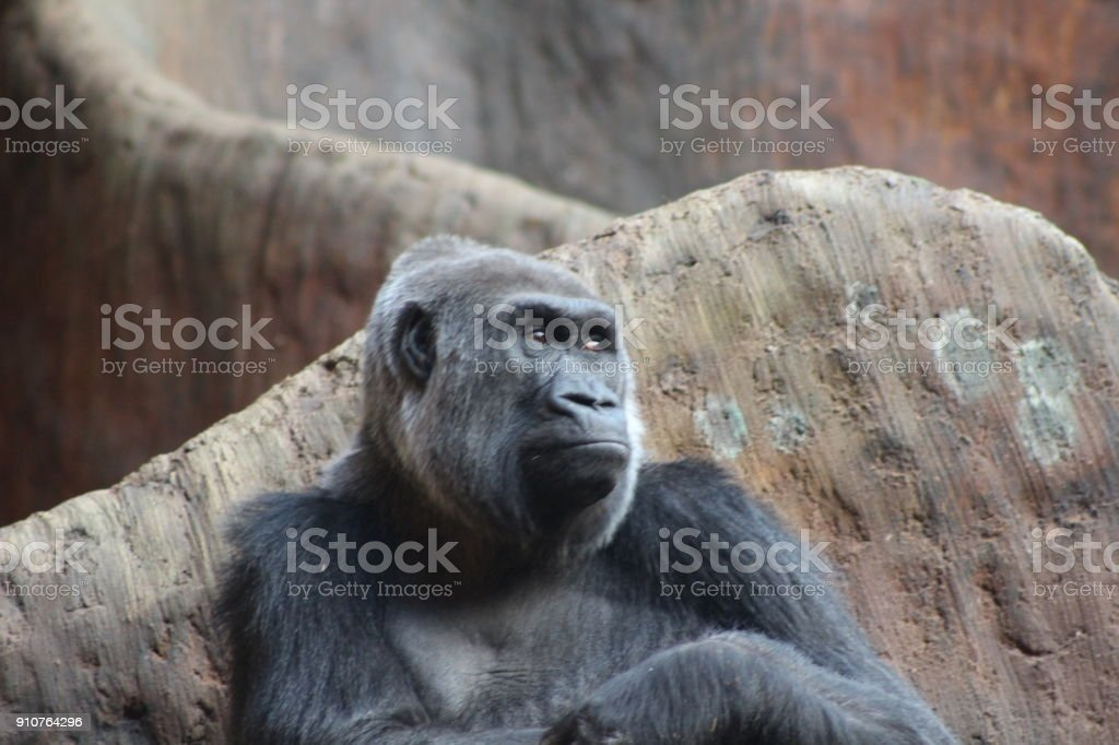 Western lowland gorilla that is endangered stock photo