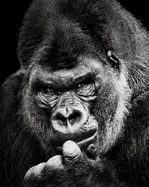 Western Lowland Gorilla X stock photo