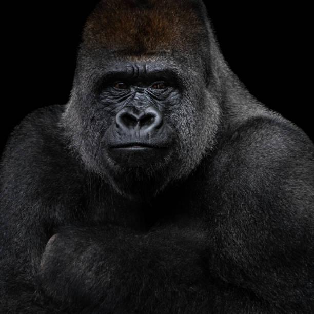 Western Lowland Gorilla XIII stock photo