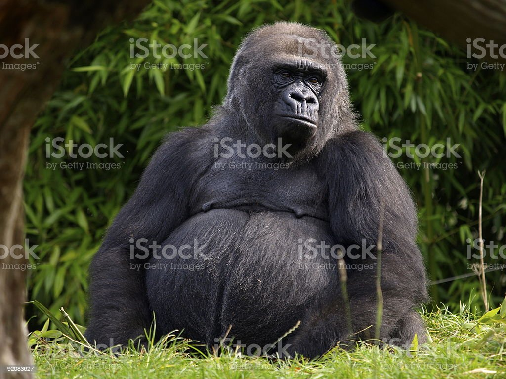 Western Lowland Gorilla,Jersey. royalty-free stock photo