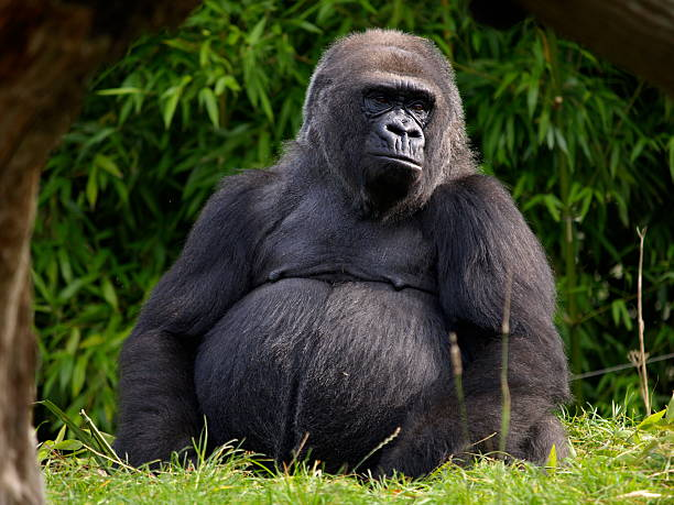 Western Lowland Gorilla,Jersey. stock photo
