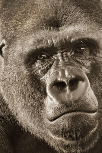 Western Lowland Silver Back Gorilla Portrait up close