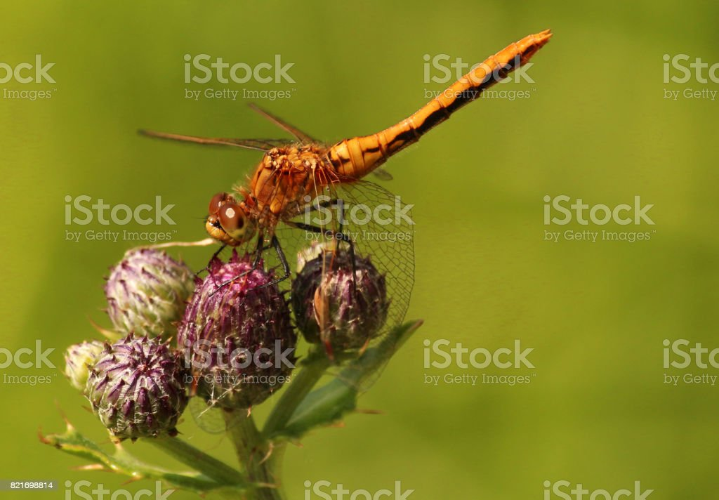 Western Meadowhawk Dragonfly stock photo