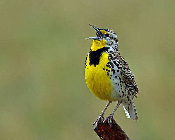 Image result for western meadowlark royalty free
