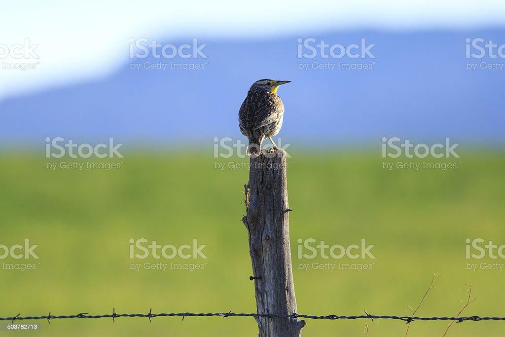 Western Meadowlark royalty-free stock photo