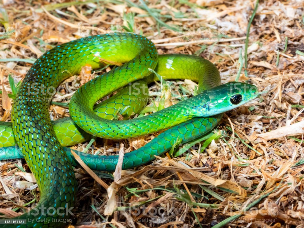 Western Natal Green Snake (Philothamnus occidentale) stock photo