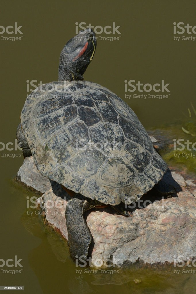 Western painted Turtle (Chrysemys picta) royalty-free stock photo