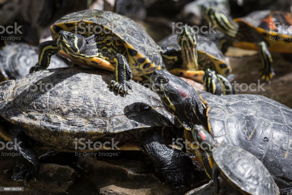 Western painted turtle (chrysemys picta) sitting on rock basking in late morning sun in fresh water pond. stock photo