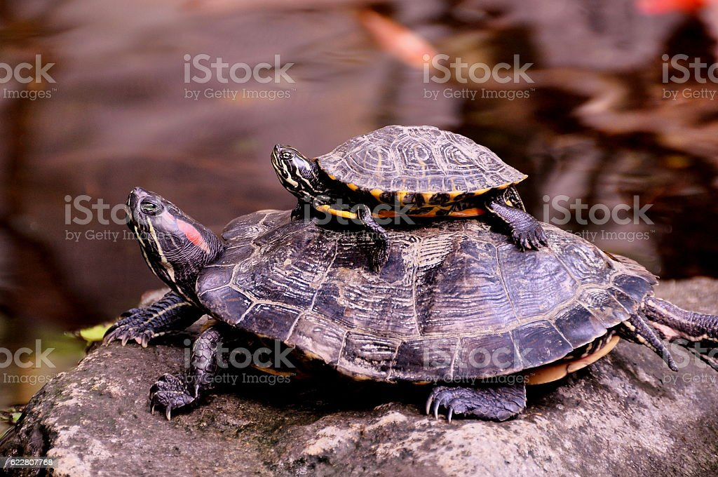 Western painted turtles. stock photo