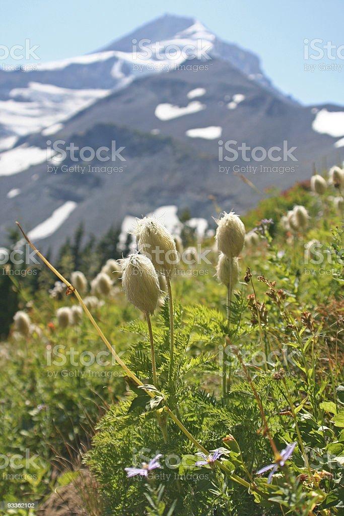 Western Pasqueflower Seedheads on Mt. Hood royalty-free stock photo