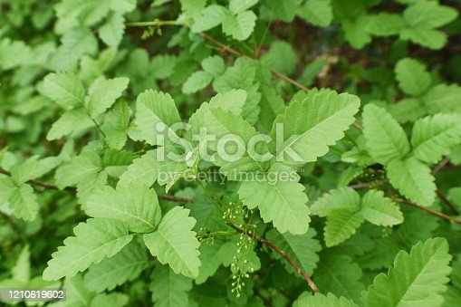 Western Poison Oak Leaves Close Up For Plant Identification