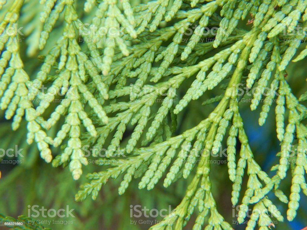 Western red cedar leaves stock photo more pictures of