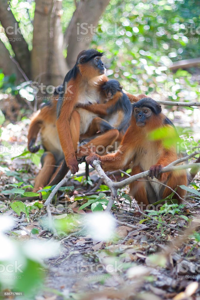 Western red colobus monkey family. Gambia stock photo