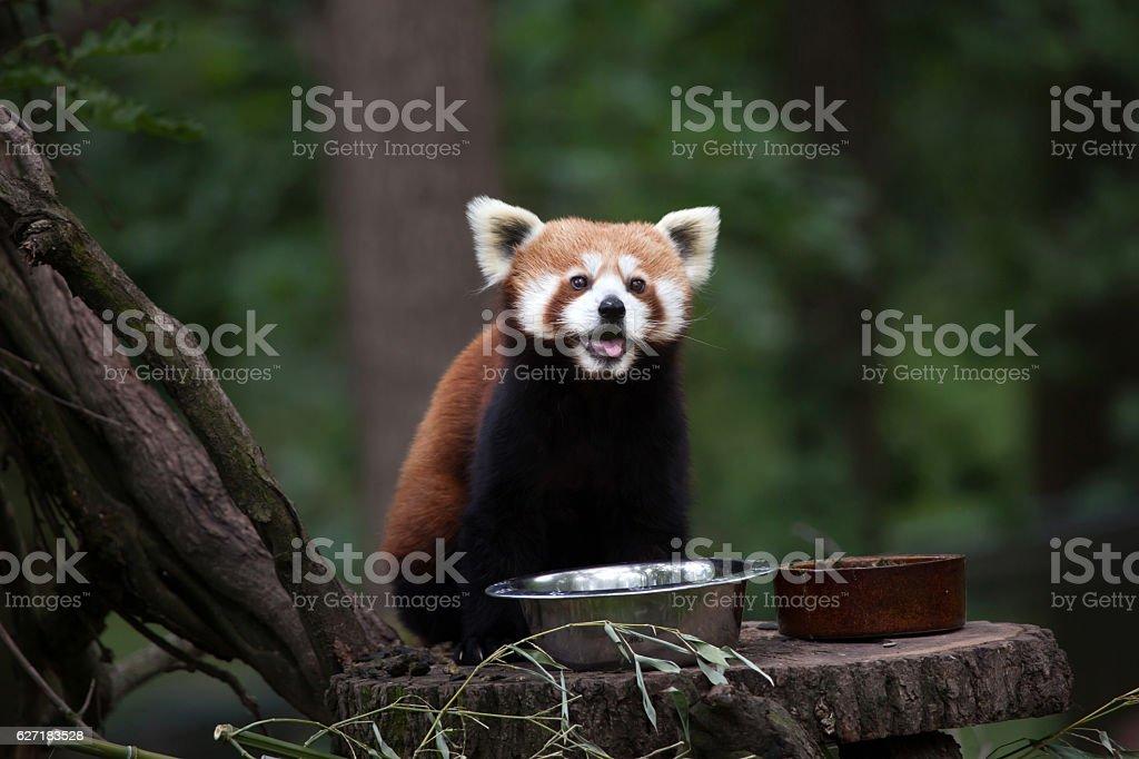 Western red panda (Ailurus fulgens fulgens) stock photo
