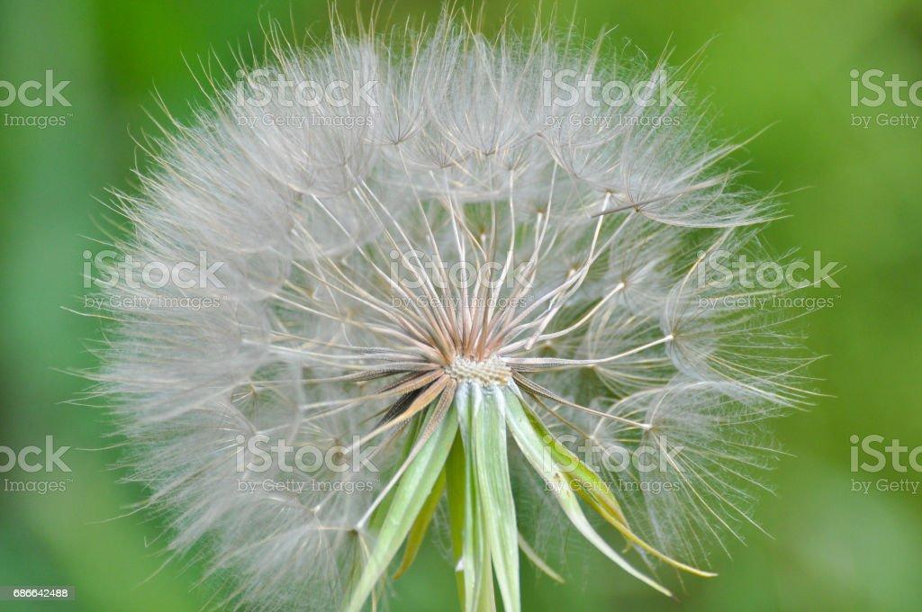 Western salsify or big dandelion flower Стоковые фото Стоковая фотография