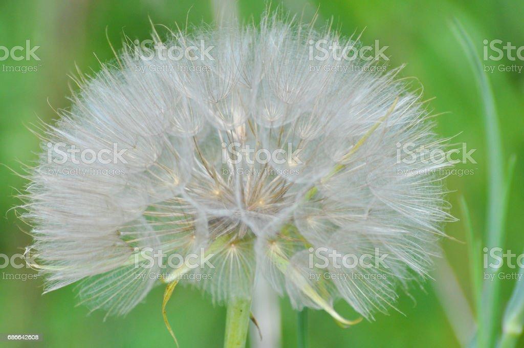 Western salsify or big dandelion flower royalty-free stock photo