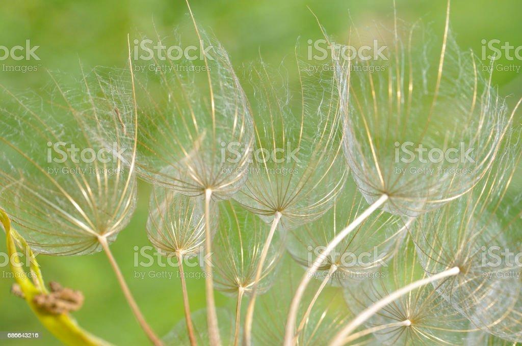 Westlichen Schwarzwurzeln oder große Löwenzahn Blume Lizenzfreies stock-foto