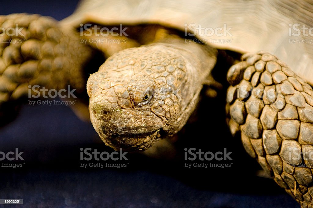 Western Sand Tortoise stock photo