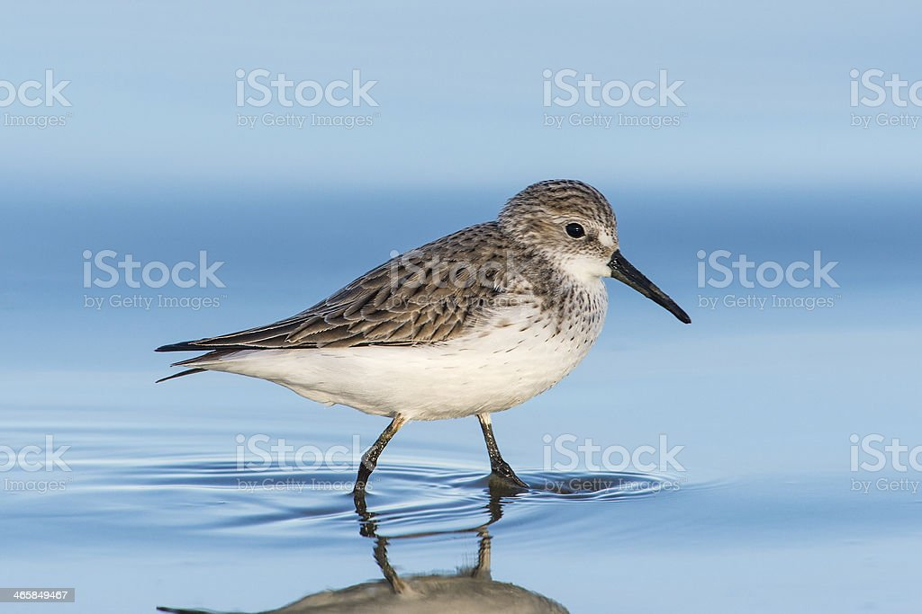Western Sandpiper in Winter Plumage stock photo