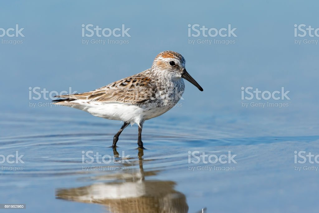 Western Sandpiper with Reflection stock photo