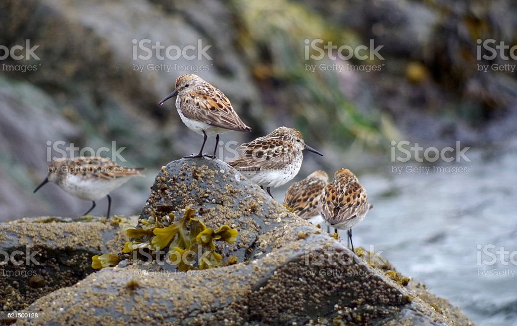 Western Sandpipers on a seaweed covered rock, Vancouver Island. foto stock royalty-free