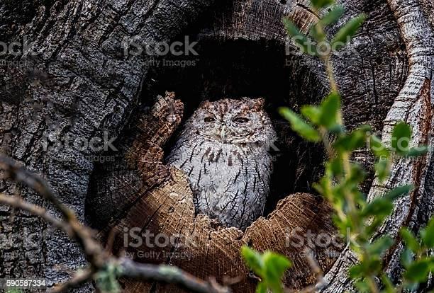Western screech owl california picture id590587334?b=1&k=6&m=590587334&s=612x612&h=raglskkycey t5htynodpxrmlox1jzgb8eklzgmesfq=