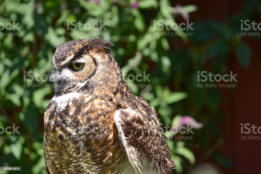 Western Screech Owl stock photo