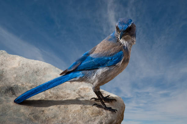 Western Scrub Jay Standing on a Boulder stock photo