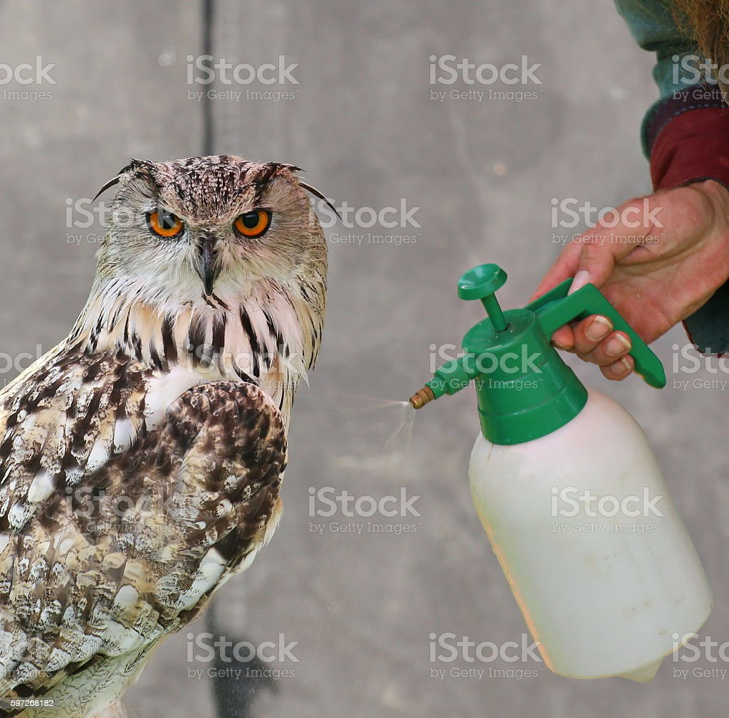 Western Siberian eagle-owl (Bubo bubo sibiricus) is sprayed with water royalty-free stock photo