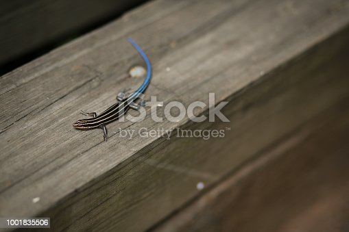Western Skink - Plestiodon skiltonianus small lizard on a Piece of Wood Timber