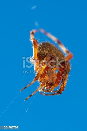 Western spotted orbweaver spider, Neoscona oaxacensis, lying in wait on web against blue sky.