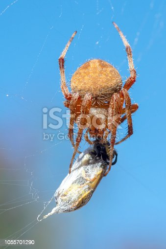 Western spotted orbweaver spider, Neoscona oaxacensis, with wasp agaisnt clear blue sky.