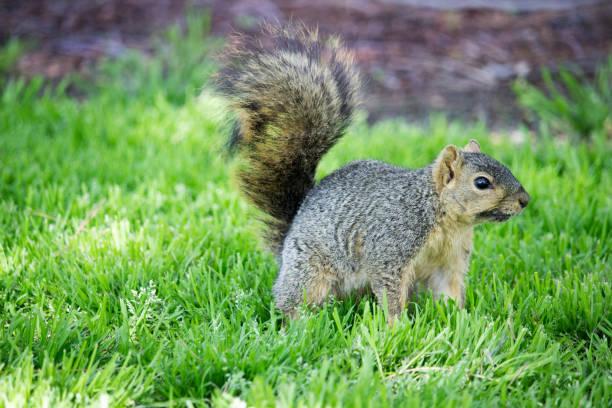 Western Squirrel stock photo