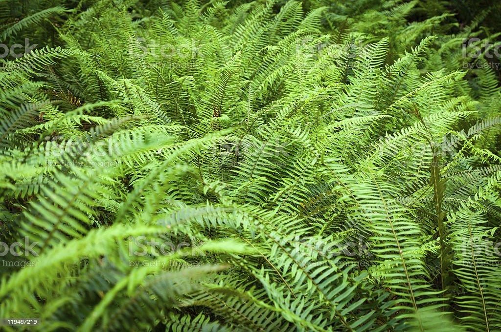 Western sword fern fronds stock photo