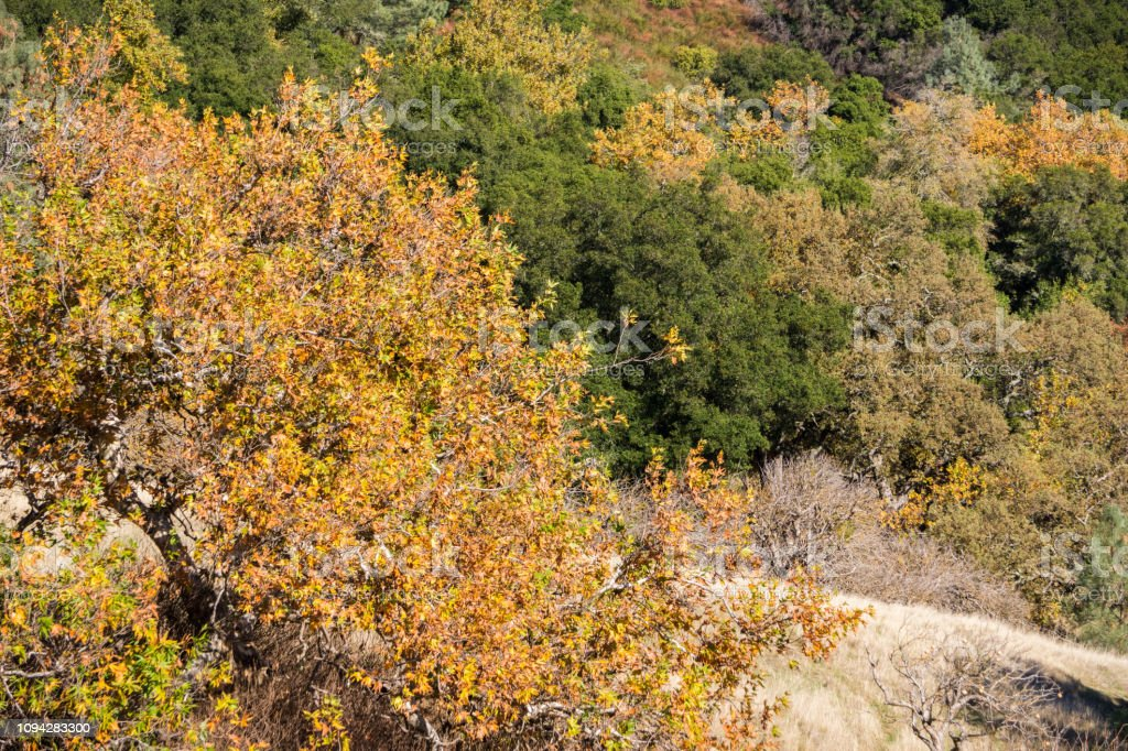 Western Sycamore trees covered in fall colors mixed up with live oaks...