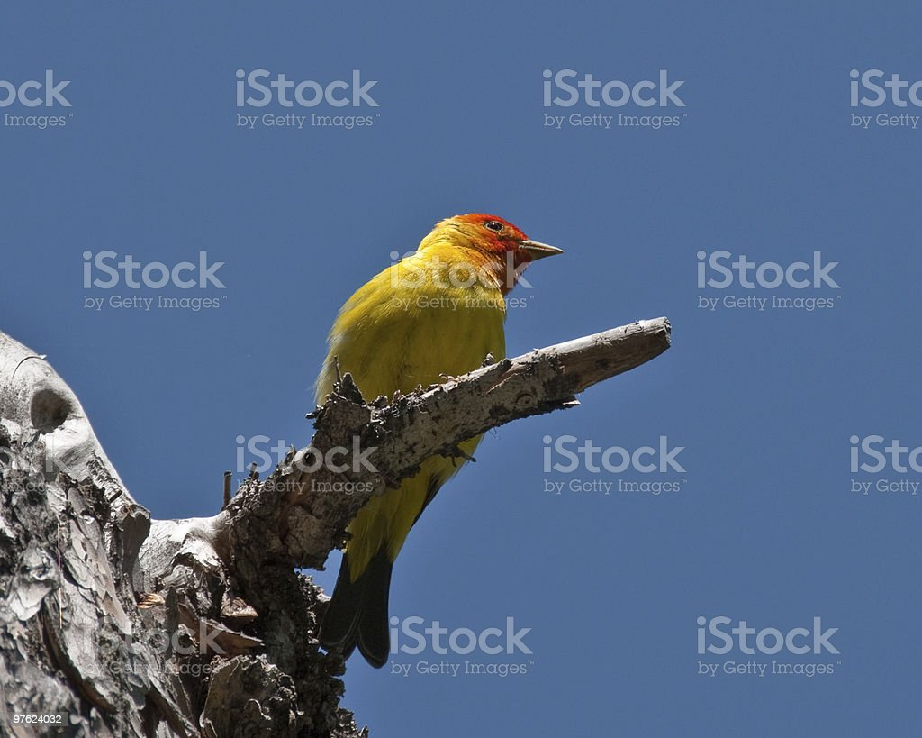Western Tanager Perched on a Branch royalty-free stock photo