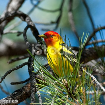 The Western Tanager (Piranga Ludoviciana), is a medium-sized American songbird in the cardinal family. Adult males are bright yellow with black wings and a flaming orange-red head.  The plumage and vocalizations are similar to other members of the cardinal family.  This western tanager was photographed while perched on a branch at Campbell Mesa in the Coconino National Forest near Flagstaff, Arizona, USA.